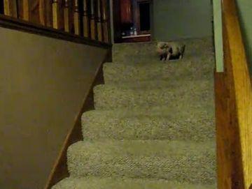 Carui animal de companie ii este teama sa coboare scarile? VIDEO FUNNY