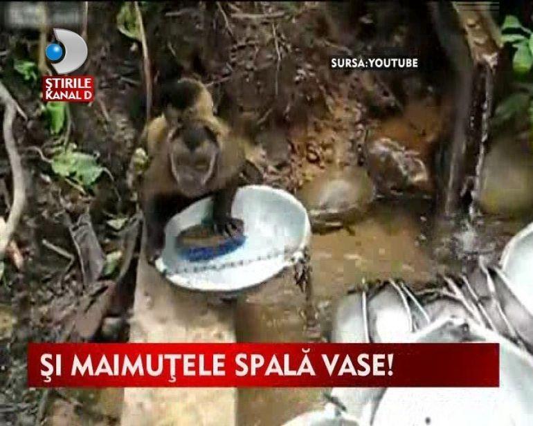 Mori de ras!Vezi cum spala o maimuta vasele VIDEO