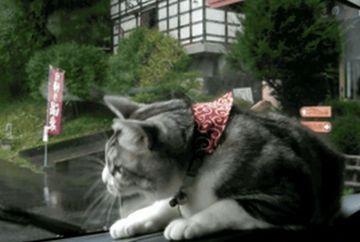 LESINI DE RAS! Pisica vs stergatoarele de la masina. Cine credeti ca va vastiga?