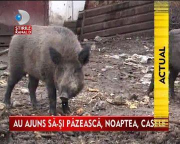 Fac NOPTI ALBE din cauza porcilor mistreti! Localnicii unui sat, terorizati de fiare salbatice