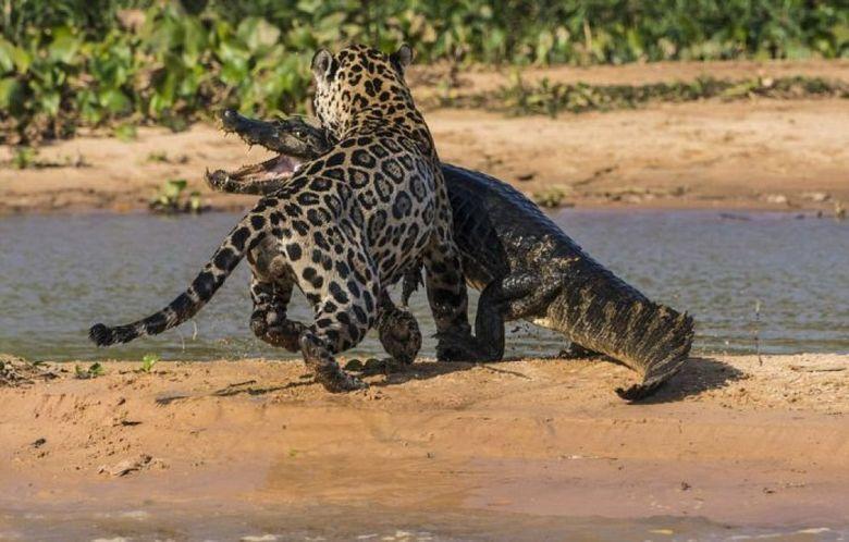 SCENE TERIFIANTE suprinse din timpul unui atac al unui jaguar asupra unui crocodil. Cine credeti ca a castigat lupta?