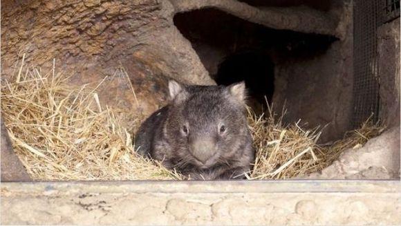 ADORABIL! El e cel mai in varsta urs marsupial. Nu o sa-ti vina sa crezi cu cat a depasit media de viata