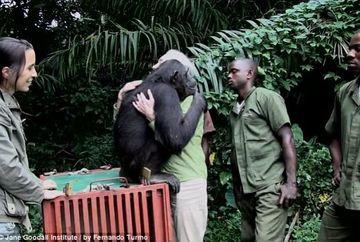 Momentul emotionant in care un cimpanzeu este eliberat din bratele ingrijitorului in salbaticie!