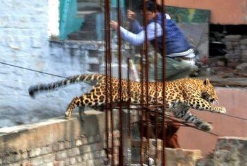 IMAGINI SOCANTE. Un leopard care se plimba LIBER pe strazi a terorizat locuitorii unui orasel din India