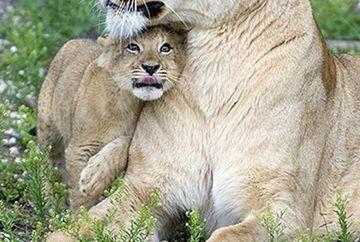 IMAGINILE care iti vor sfasia inima! Povestea leoaicei care si-a luat ramas bun de puiul ei ASA