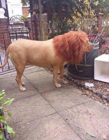 Si-au facut CRUCE cand au vazut un leu plimbandu-se pe strazi