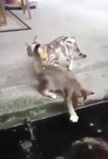 INCREDIBIL. O pisica care se pregatea sa prinda un peste, LOVITA peste bot si trasa la fundul apei de prada
