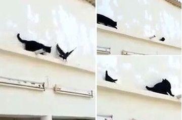 LESINI de RAS. Cum a fentat un porumbel o pisica care tocmai se pregatea sa-l inhate!