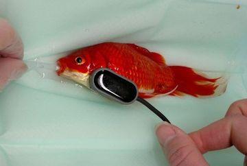 GESTUL INCREDIBIL la care a recurs un iubitor de animale cand a observat ca pestele lui din acvariu s-a CONSTIPAT