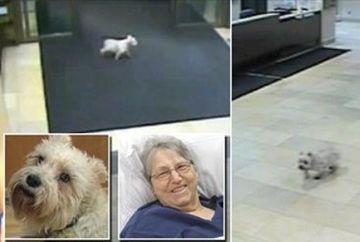 Cel mai FIDEL caine. S-a strecurat in spital ca sa-si viziteze stapana in timp ce era internata!