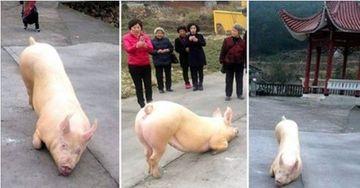 INCREDIBIL. Un porc a scapat de la abator ca sa mearga sa se INCHINE la TEMPLU!
