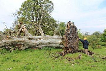 S-au speriat cand au vazut ca un copac vechi de 200 de ani a fost doborat de o furtuna, dar s-au ingrozit si mai tare cand au ajuns acolo si au vazut ce era sub radacina lui!