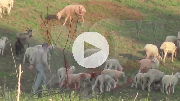 Imaginile verii vin direct din Pipera!!! Gigi Becali si-a facut stana cu 400 de oi si toata ziua si-o petrece printre ele! Milionarul s-a intors la origini si radiaza de fericire in rolul de cioban. VIDEO