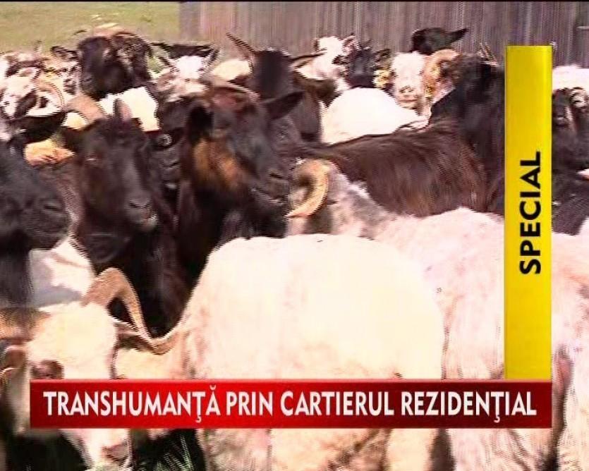 Locuitorii unui cartier rezidential, exasperati de turmele de oi care trec pe langa vilele lor VIDEO