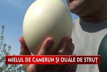 Ultima fita de Paste! Mieii de Camerun si oua de strut de doua kilograme VIDEO