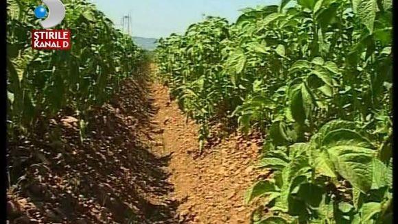 Seceta afecteaza culturile de cartofi VIDEO