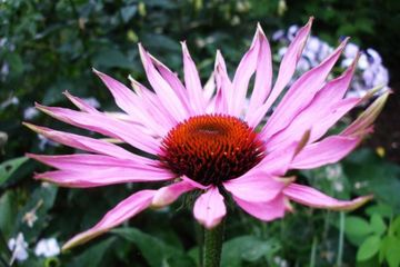 Echinacea, PLANTA MINUNE contra racelii si gripei