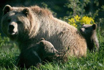 Răsturnare de situație. De ce ar fi intrat în bârlogul ursoaicei bărbatul ucis în Harghita