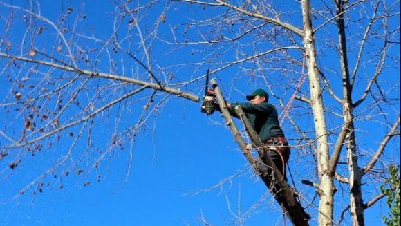 Cum sa tai in siguranta un copac cu drujba?