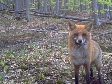 Video incredibil! Cum reactioneaza o vulpe când descoperă camera de filmare instalată în Parcul Naţional Semenic