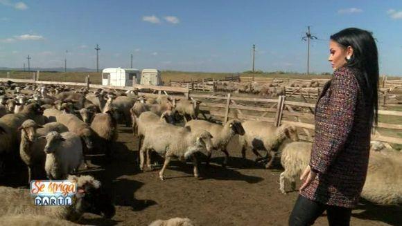 """Andreea Mantea, ciobanita peste o mie de oi! Vedeta de la """"Se striga darul"""" pune umarul la treaba, la stana!"""