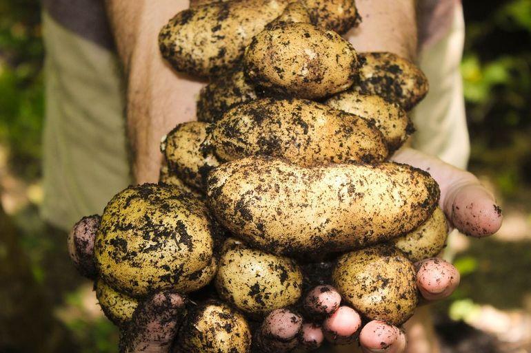 Cartofi toxici: semnele care arata cand devin cartofii toxici