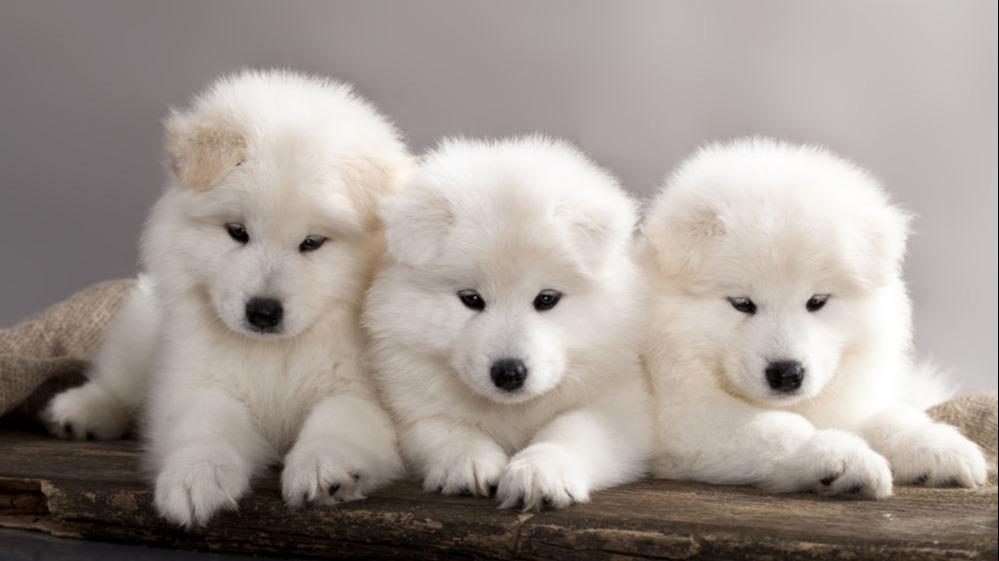 Cât de des se face deparazitarea la câini?