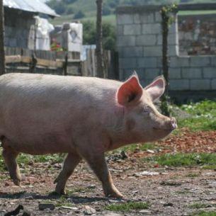Anuntul a venit de la Guvern! Romanii nu vor mai putea sa creasca porci in propria gospodarie!