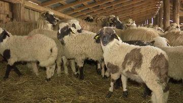 Ciobanii din Gorj riscă să rămână cu mieii nevânduți