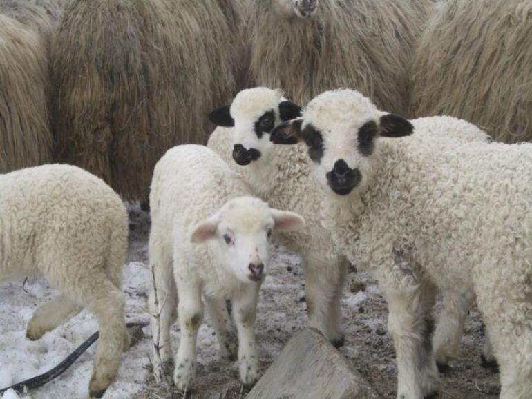 Cu cât se așteaptă ciobanii să vândă mieii de Paște