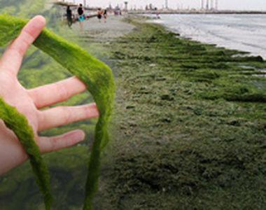 VIDEO| Invazie de alge pe litoral