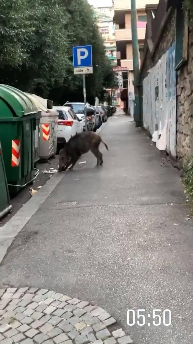 andra volos porc mistreț italia