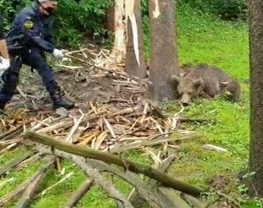 Operațiune dramatică la Brașov: Un urs a fost salvat după ce a rămas captiv în sârma...