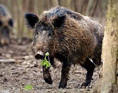 Focar de pestă porcină africană în judeţul Timiş