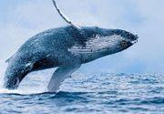 Femeie la un pas de moarte, după ce a fost zdrobită între două balene