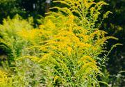 Ambrozia, planta care îți poate goli buzunarele. Anunțul autorităților