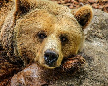 Braşov: Bărbat grav rănit după ce a fost atacat de urs