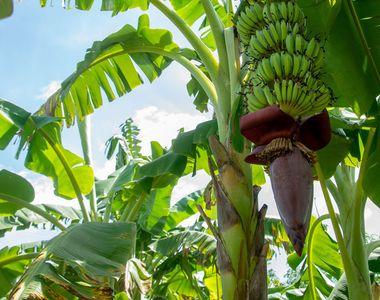 VIDEO - Bananierii cresc și în România. Plantele fac fructe, dar nu se coc