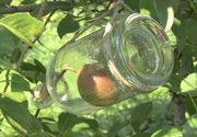 VIDEO - Secretul fructelor crescute direct în sticle