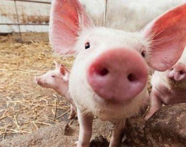 Preţ carne porc Crăciun 2020:  Cât costă un kg în viu?