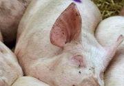 VIDEO - Porcii sunt vânduți online pe post de oi cu șorici sau adidași