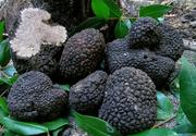 Secretele afacerii cu trufe. Cum poți produce și vinde cu succes ciuperca cu preț de caviar