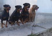 Caz șocant pe o stradă din România. Femeie atacată de patru câini rottweileri