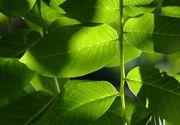 La ce sunt bunele frunzele de nuc. Se poate face și ceai din ele