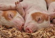 Pe ce dată se taie porcul de Crăciun 2020. Greșeala pe care o fac mulți