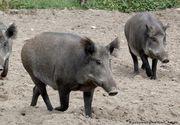 Descoperire de pestă porcină africană în România: În ce județ s-a răspândit
