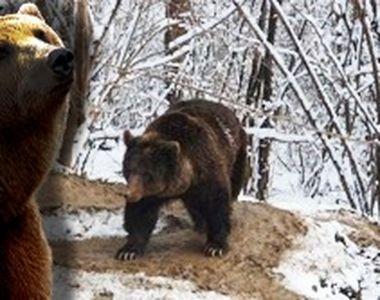 VIDEO - Ursoaica se crede încă în captivitate, chiar dacă este liberă