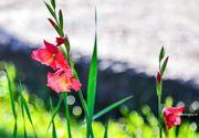 Când se plantează, de fapt, bulbii de gladiole. Ce trebuie să faci ca să ai cele mai frumoase flori în grădină