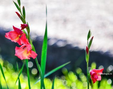 Când se plantează, de fapt, bulbii de gladiole. Ce trebuie să faci ca să ai cele mai...