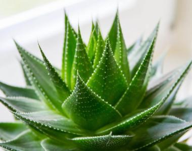 Cum poți să crești planta miracol Aloe Vera la ghiveci, în apartament